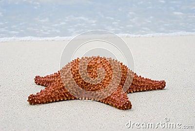 Starfish (Oreaster reticulatus)