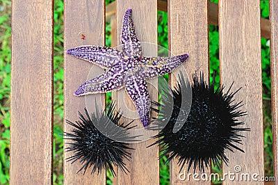 Starfish and sea urchin, echinus