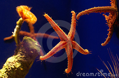Starfish vivos na água