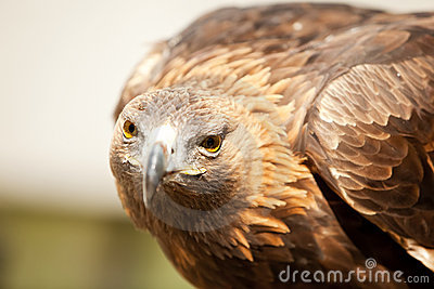 Stargin golden eagle