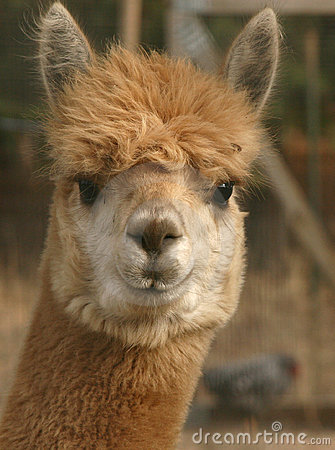 Free Staring Alpaca Stock Photos - 3790123