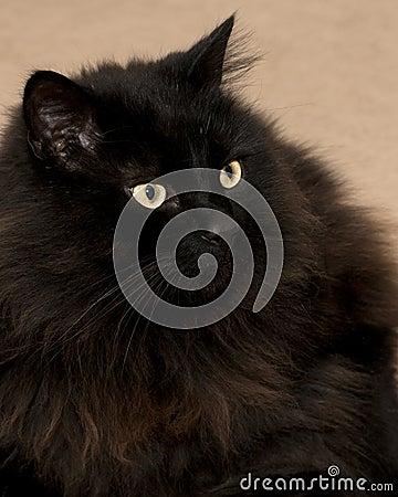 Staring black cat