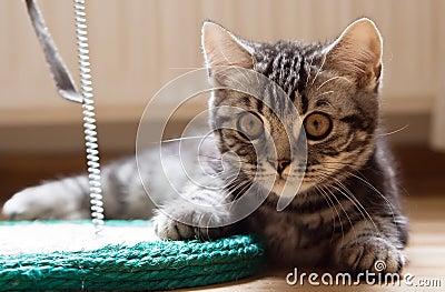 Staring British Kitten