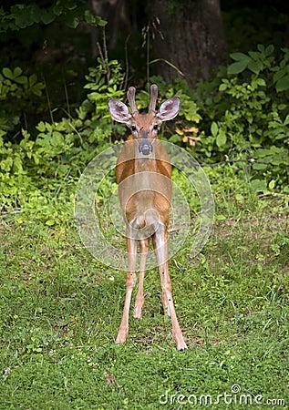 Staring buck