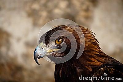 Staring buzzard