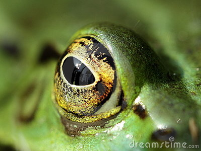Staring eye of a green frog