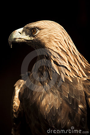 Staring golden eagle