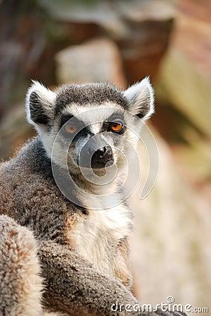 Staring lemur
