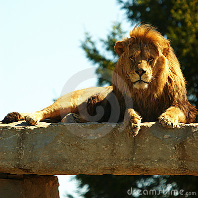 Staring Lion King under sunshine