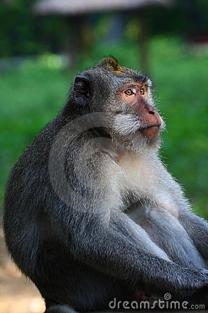 Staring long tailed macaque