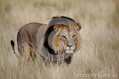 Staring male lion