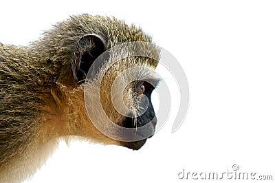 Staring monkey.