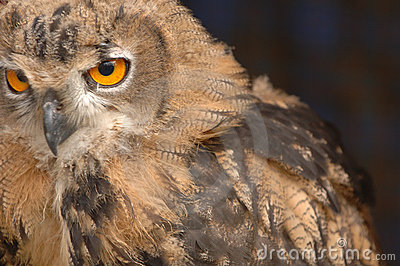 A Staring Owl 3