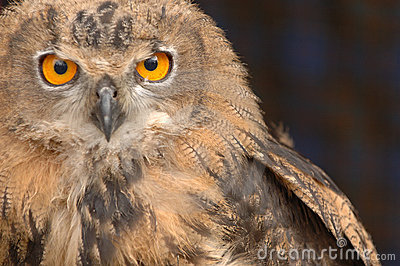 A Staring Owl 4