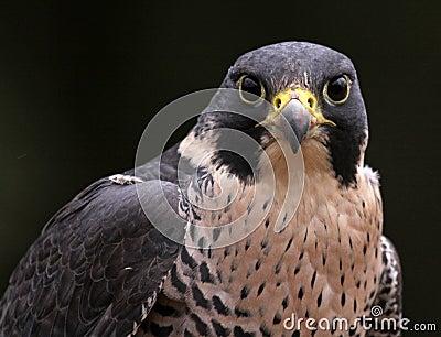 Staring Peregrine Falcon