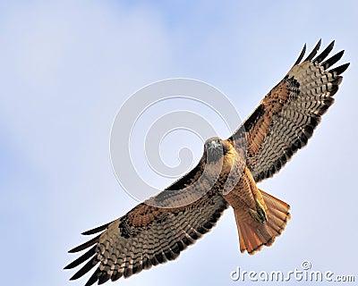 Staring redtail hawk