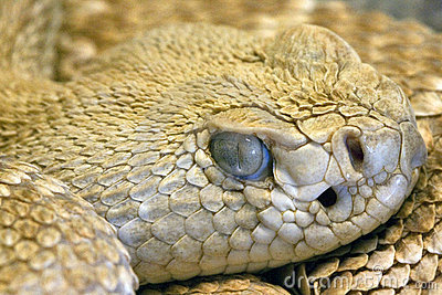 Staring snake s eye, close-up