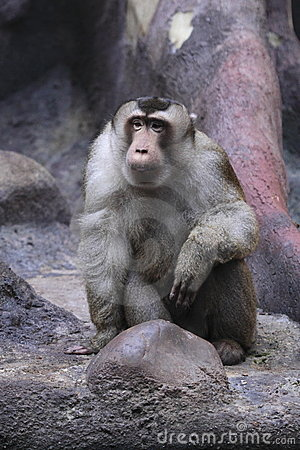Staring southern pig-tailed macaque