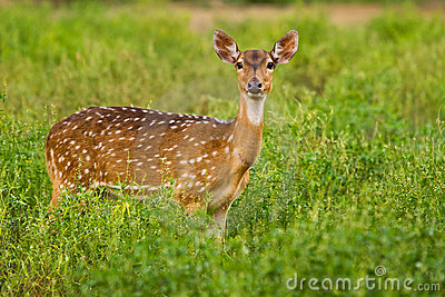 Staring spotted deer