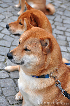 Staring Twin Dogs