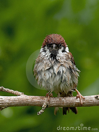Staring Wet Tree Sparrow