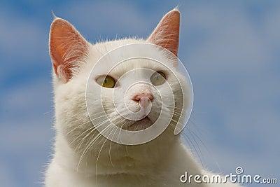 Staring white cat
