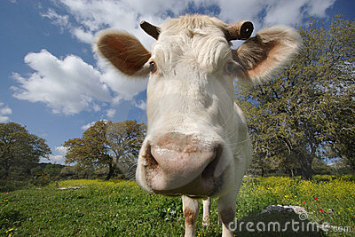 Staring white cow (2)
