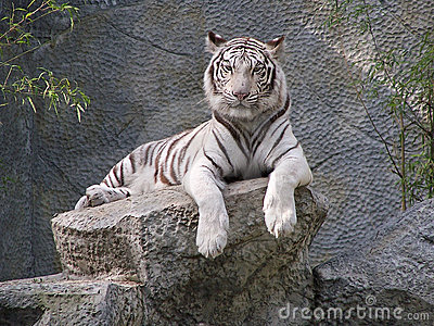 A Staring White Tiger