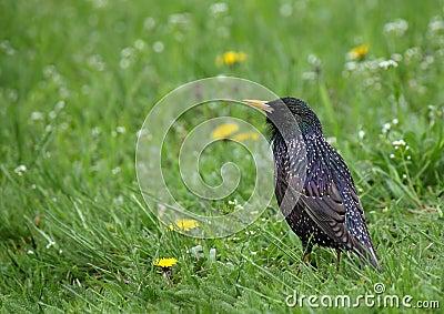 Starling в зеленой траве