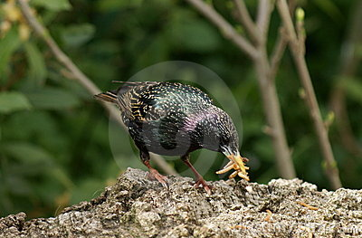 Starling and beak full of worms