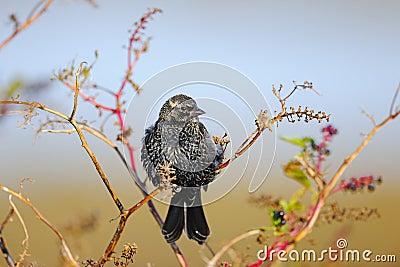 Starling européen