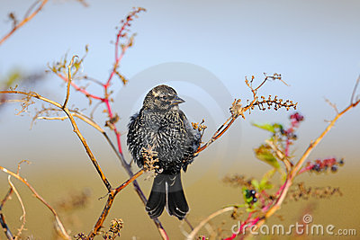 Starling europeo
