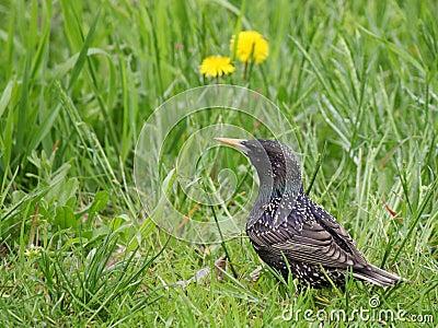 Starling in green grass