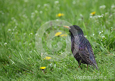Starling in groen gras