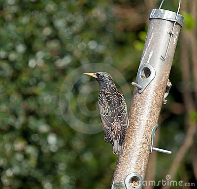 Starling plumage