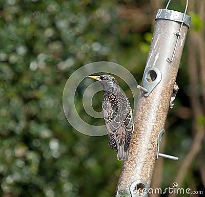 Starling plumage