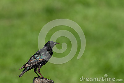 Starling on a post