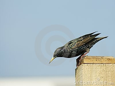 Starling (sturnus vulgaris) Ready...steady...