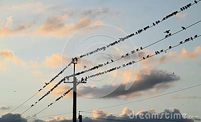 Starlings perched on a wire.