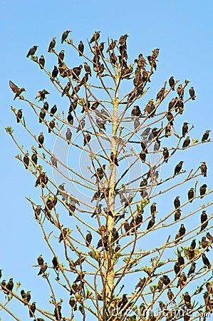 Starlings in tree