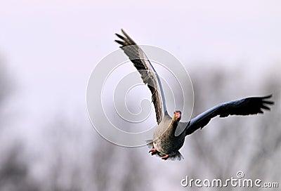 A startled greylag goose.