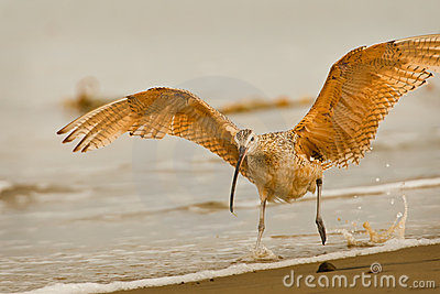 Startled Long Billed Curlew