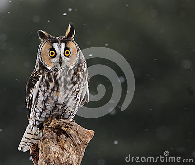 Startled Long-eared Owl