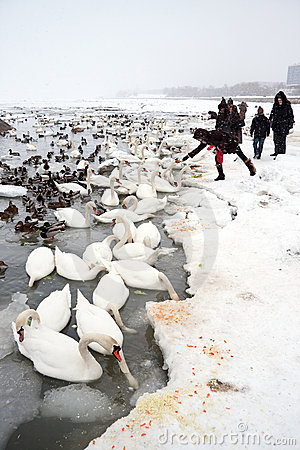 Starwing swans feed by people