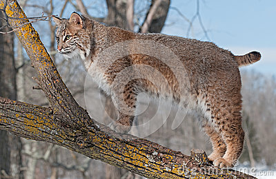Stativ för Bobcat (lodjurrufus) på Branch av treen som ser som lämnas