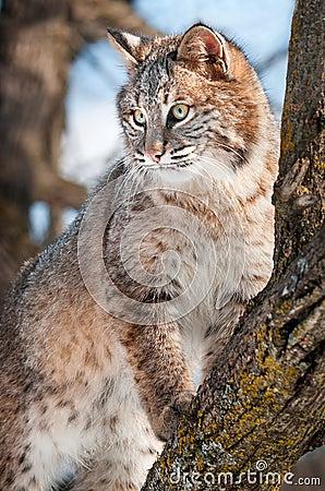 Stativ för Bobcat (lodjurrufus) på Branch i Tree