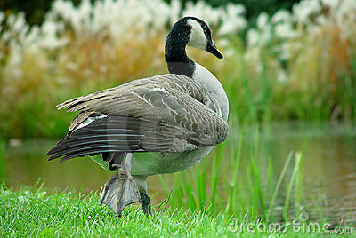 Goose by River