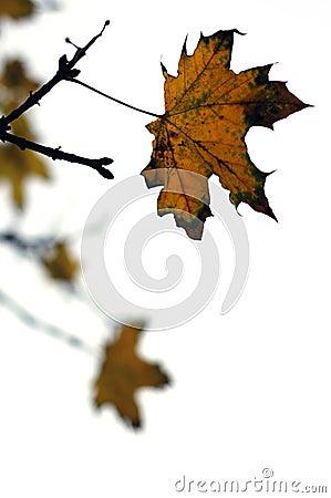 Steady late autumn leaf