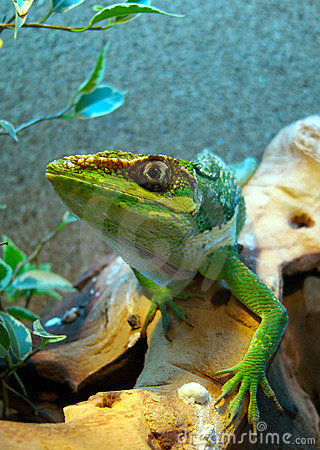 Stealing Anole
