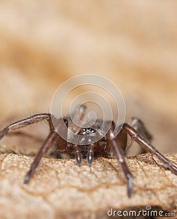 Stealthy Grundspinne (Gnaphosidae)